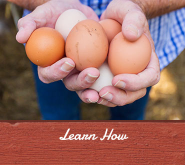 Learn How, Raise chickens for eggs